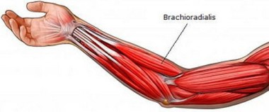 the-brachioradialis-muscle-situated-in-the-forearm-photo_