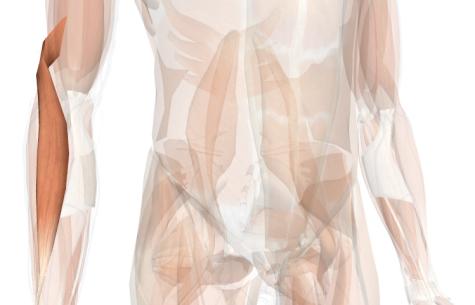 esercizi per le braccia brachioradiale